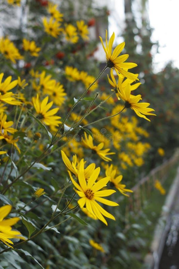 Jerusalem artichoke, bright yellow flowers in daylight. royalty free stock photo