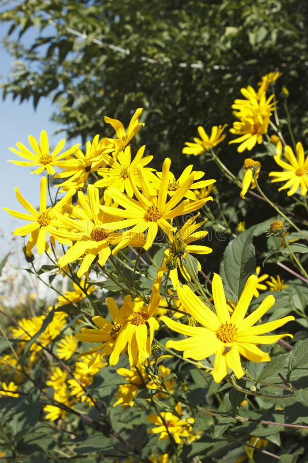 Jerusalem artichoke, bright yellow flowers in daylight royalty free stock images