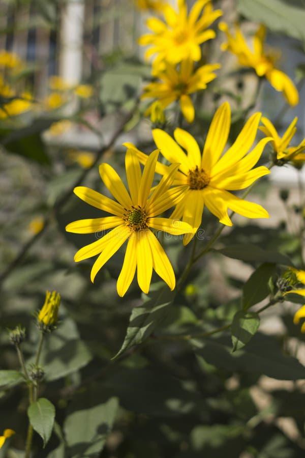 Jerusalem artichoke, bright yellow flowers in daylight stock image