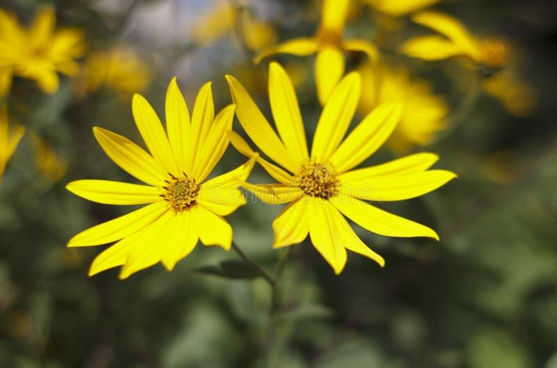 Jerusalem artichoke, bright yellow flowers in daylight stock images