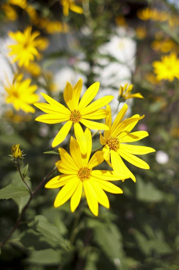 Jerusalem artichoke, bright yellow flowers in daylight royalty free stock image