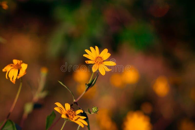 Jerusalem artichoke Flower, yellow flowers with blurred background royalty free stock photos