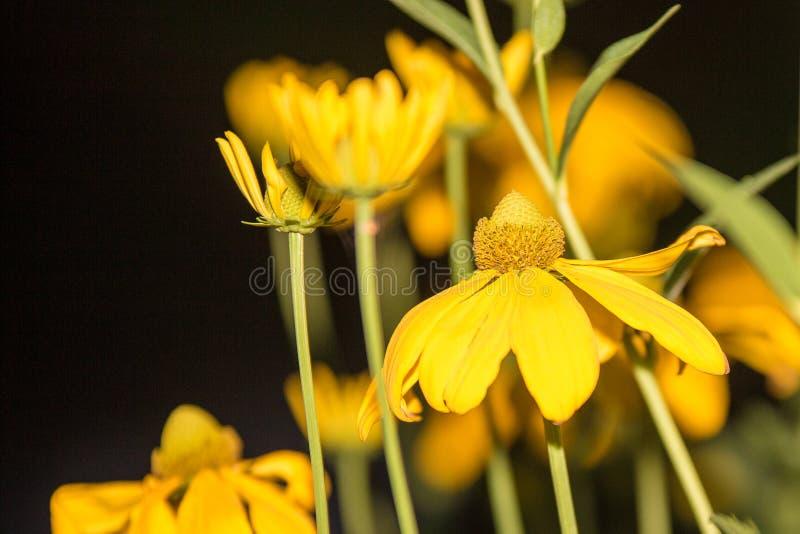 Jerusalem artichoke flowers in my garden stock photos