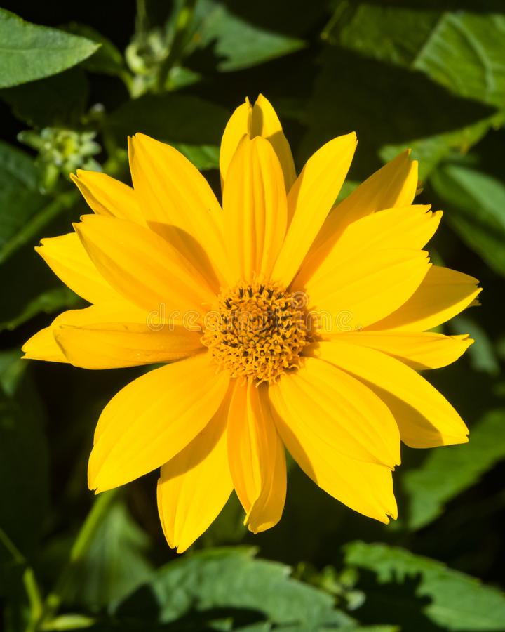 Jerusalem Artichoke, Sunroot, Topinambour, Earth Apple or Helianthus tuberosus yellow flower close-up, selective focus. Shallow DOF royalty free stock image