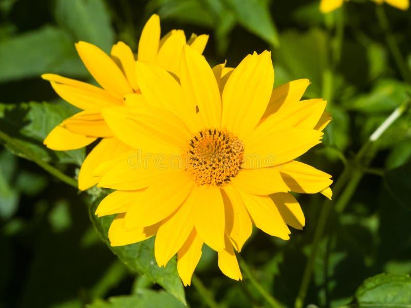 Jerusalem Artichoke, Sunroot, Topinambour, Earth Apple or Helianthus tuberosus yellow flower close-up, selective focus. Shallow DOF royalty free stock images