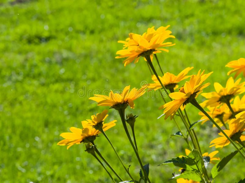 Jerusalem Artichoke, Sunroot, Topinambour, Earth Apple or Helianthus tuberosus yellow flowers backlighted. Selective focus, shallow DOF royalty free stock image