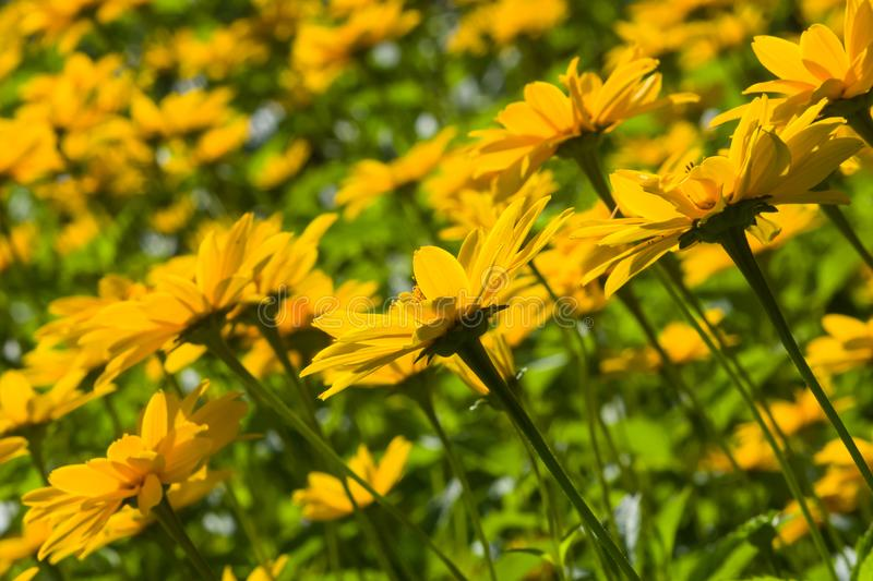 Jerusalem Artichoke, Sunroot, Topinambour, Earth Apple or Helianthus tuberosus yellow flowers backlighted. Selective focus, shallow DOF royalty free stock images