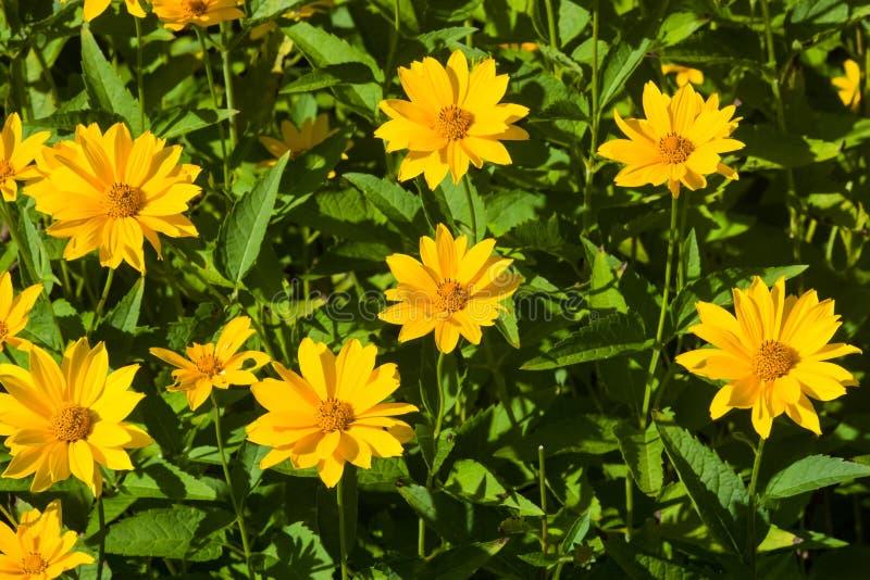 Jerusalem Artichoke, Sunroot, Topinambour, Earth Apple or Helianthus tuberosus yellow flowers close-up. Selective focus, shallow DOF royalty free stock photography