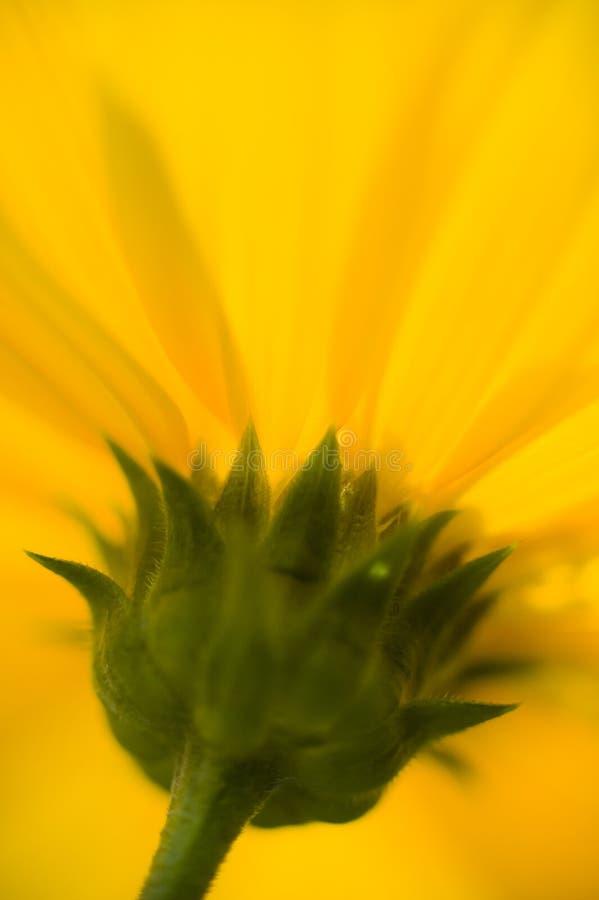 Jerusalem artichoke, topinambour flower detail. Jerusalem artichoke, Helianthus tuberosus, also called sunroot, sunchoke, earth apple or topinambour stock photography