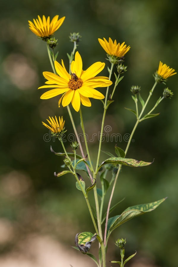 Download Jerusalem Artichoke.  Topinambur Stock Photo - Image: 26681370