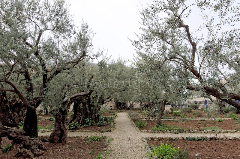Jerusalem, Israel. - February 15.2017. Gethsemane garden. The place of Jesus Christ`s praying on the night of the arrest. royalty free stock photos