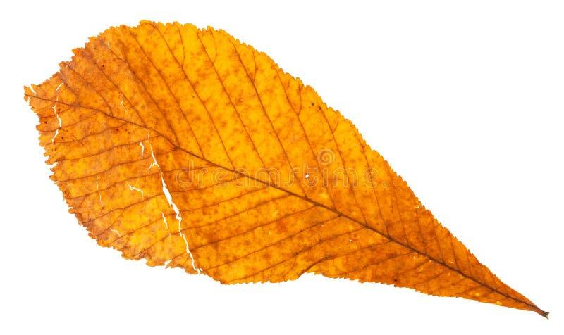 jesień łamający żółty liść koński cisawy drzewo zdjęcia stock