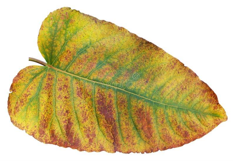 Jesień żółty czerwony liść Europejski roślina arcydzięgiel odizolowywający zdjęcie royalty free