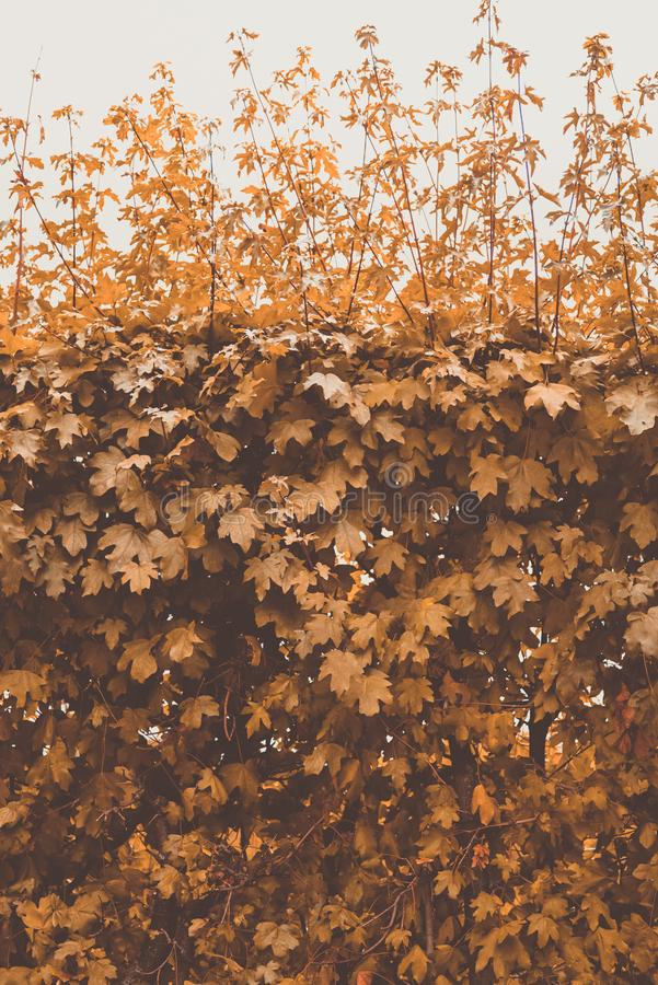 Jesień żółty krzak na tle niebo fotografia stock