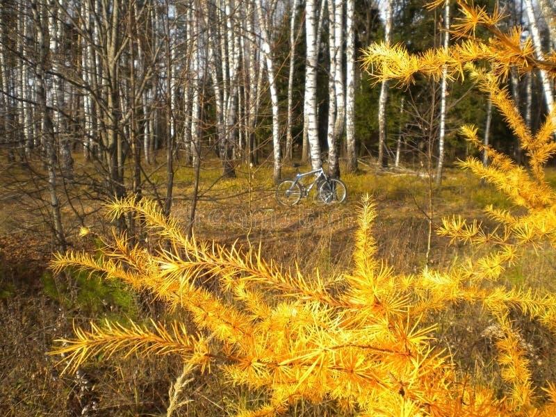 Jesień, żółty ulistnienie, bicykl, brzoza, piękny modrzew, przedpole zdjęcie royalty free