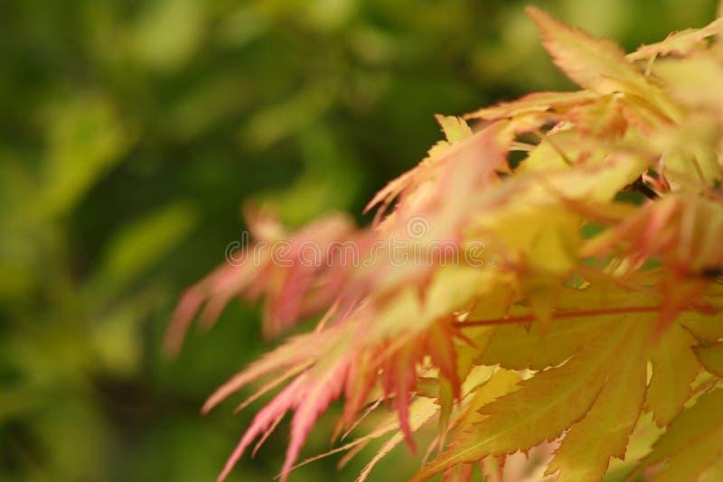 Jesień Acer fotografia stock