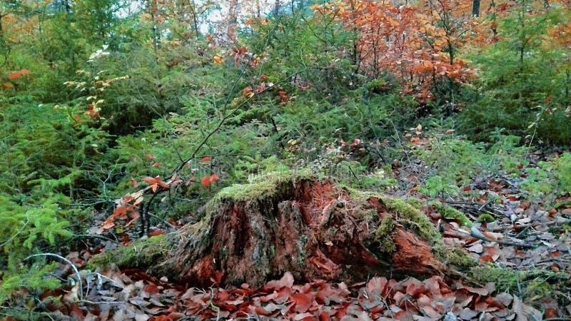 jesień błękit długa natura ocienia niebo Lasowa natura Ranek w lesie zdjęcie stock