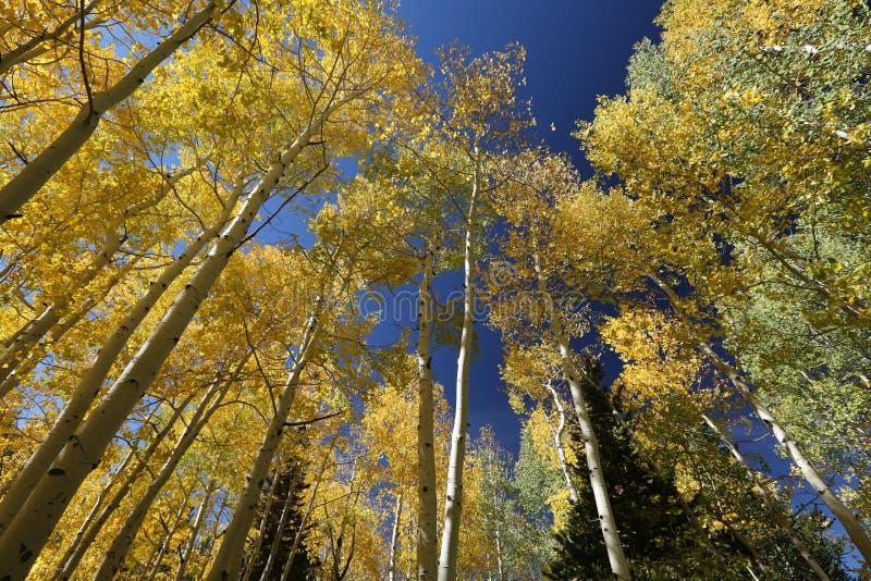 Jesień baldachim koloru żółtego i zieleni drzewa Osikowi liście w spadku fotografia royalty free