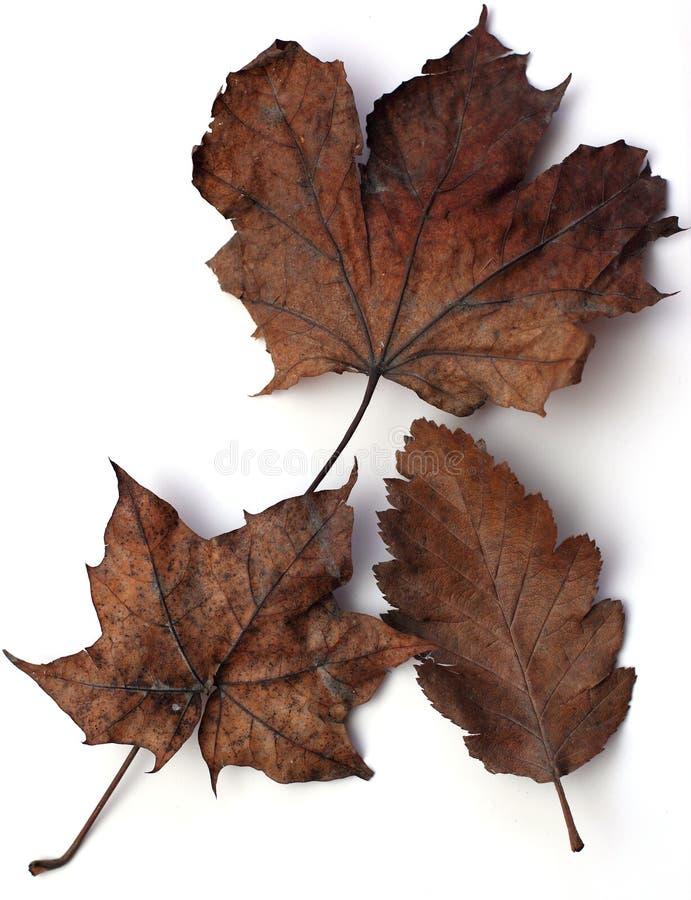 jesień brąz liść zdjęcie stock