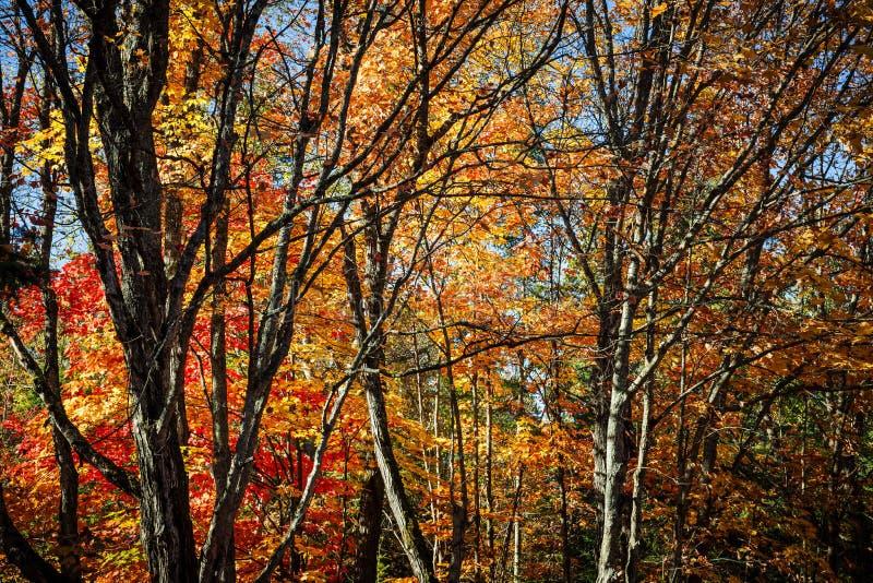 jesień brzoz liść łąkowi pomarańczowi drzewa obraz stock