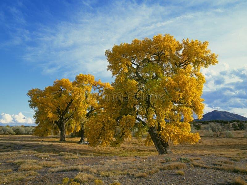 jesień cottonwood drzewa zdjęcie stock