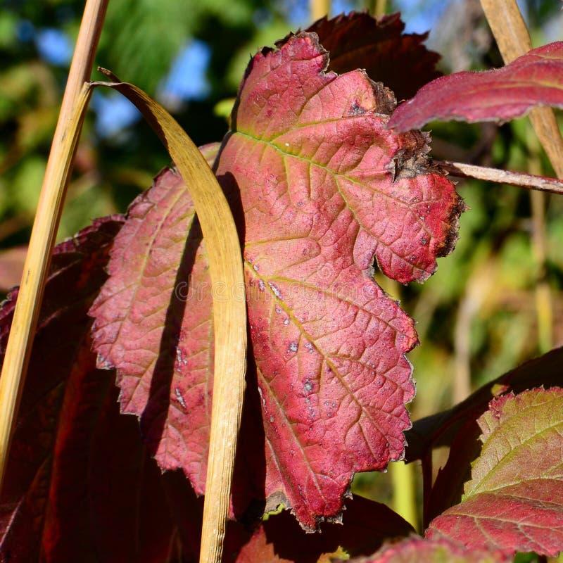 Jesień czerwony liść po pierwszy mrozu fotografia stock