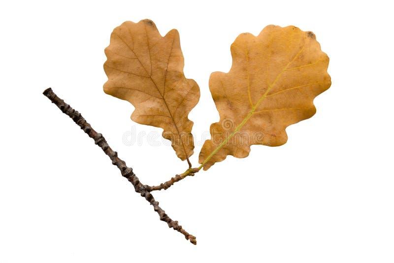 jesień dębowy gałązki biel obrazy stock