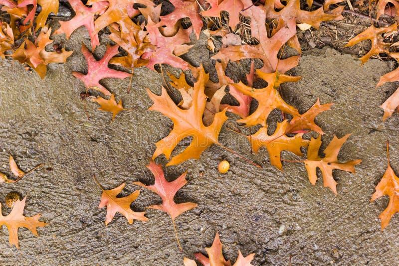 Jesień dębu liście obraz stock