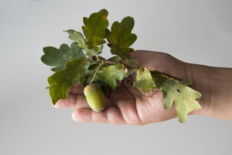 Jesień dębu zielona gałąź z acorn trzymającym chłopiec ` s ręką na a obrazy royalty free