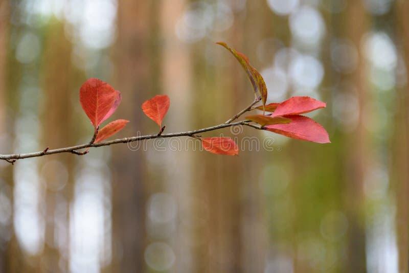 jesień dof liść czerwieni płycizna Sprig drzewo z liśćmi w lesie obrazy stock