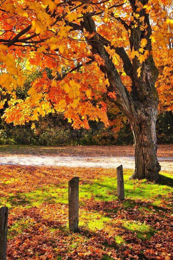 jesień drzewo klonowy pobliski drogowy fotografia stock