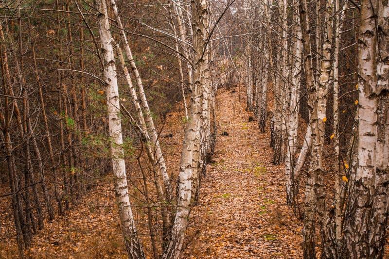 Jesień gaj młode brzozy i świerkowi drzewa obrazy stock