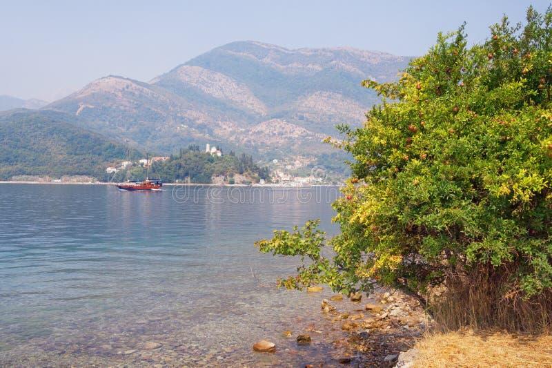 Jesień Garnet krzak z dojrzałymi owoc na brzeg zatoka Kotor Adriatycki morze na mgłowym dniu Montenegro obraz stock