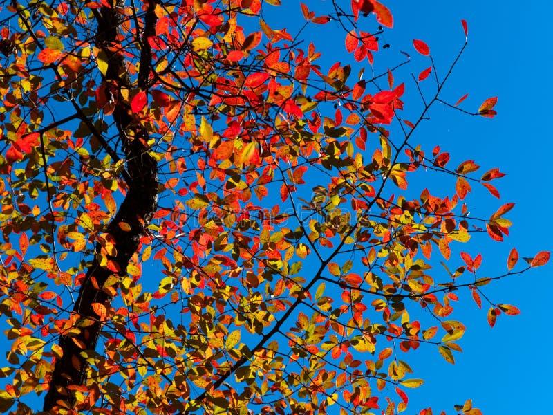 jesień gołębia śliwka zdjęcie royalty free