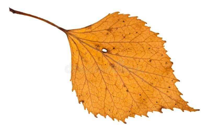 jesień holey żółty liść odizolowywający brzozy drzewo zdjęcia stock