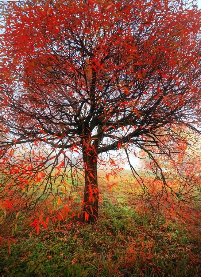 Jesień jaskrawy drzewo obrazy royalty free