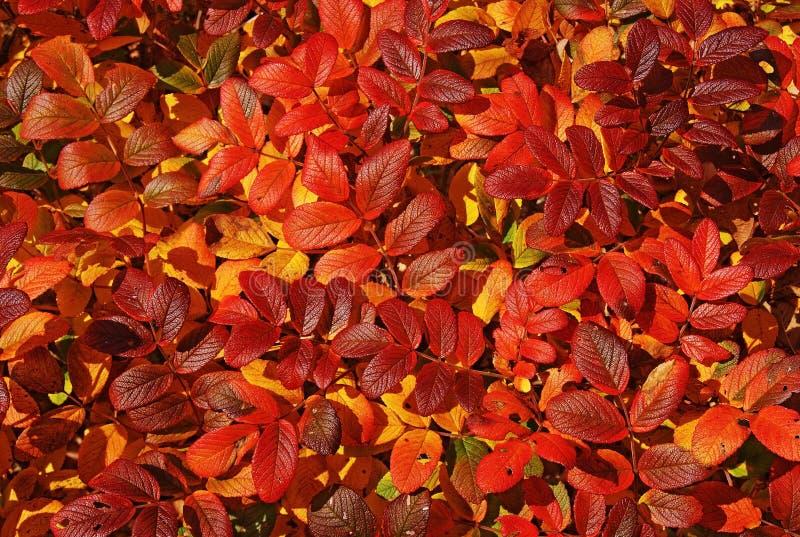 Jesień jaskrawy liść. zdjęcie stock