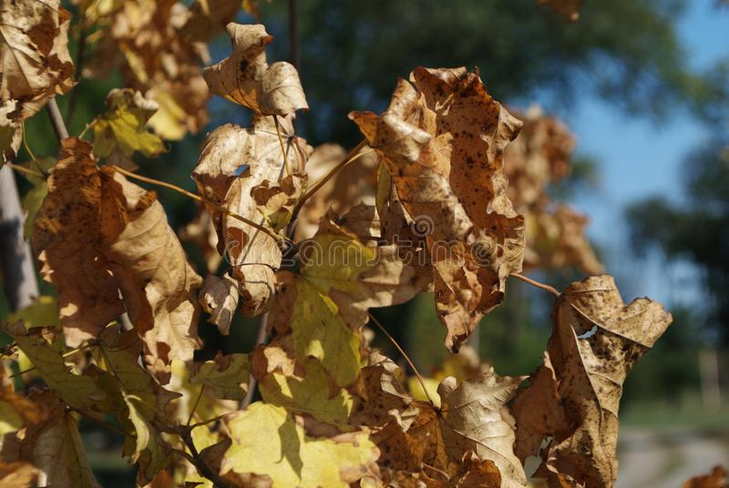 Jesień klon rozgałęzia się w świetle słonecznym obraz royalty free