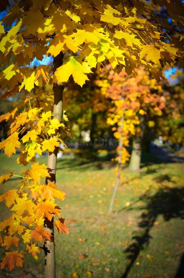 Jesień klon z kolorem żółtym opuszcza w słońcu Światło słoneczne na żółtych liściach zdjęcia stock