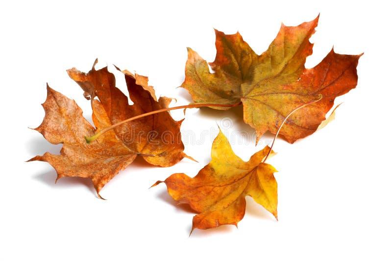 Jesień klonu gałąź z liśćmi z cieniem odizolowywającym zdjęcie stock
