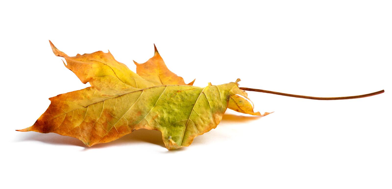 Jesień klonu gałąź z liśćmi z cieniem odizolowywającym fotografia royalty free