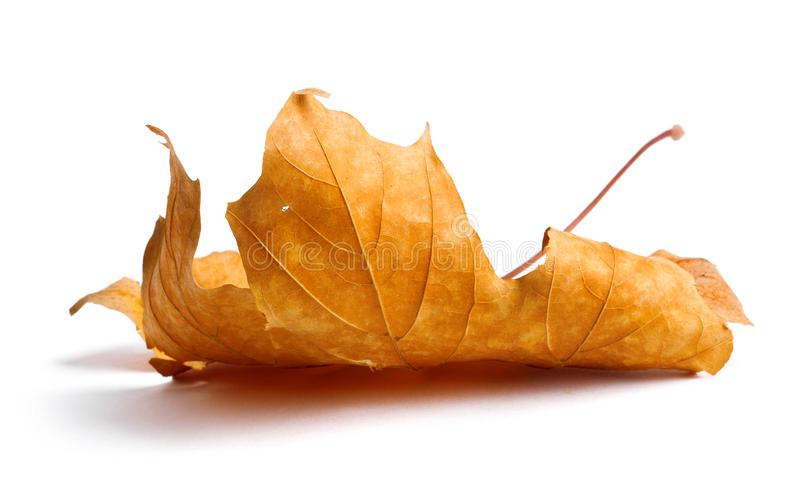 Jesień klonu gałąź z liśćmi z cieniem odizolowywającym obrazy stock