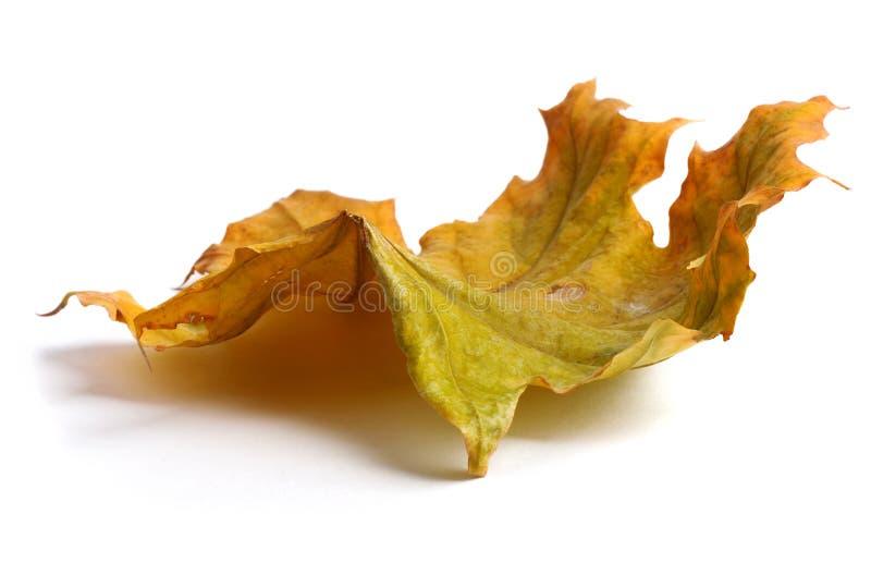 Jesień klonu gałąź z liśćmi z cieniem odizolowywającym zdjęcie royalty free