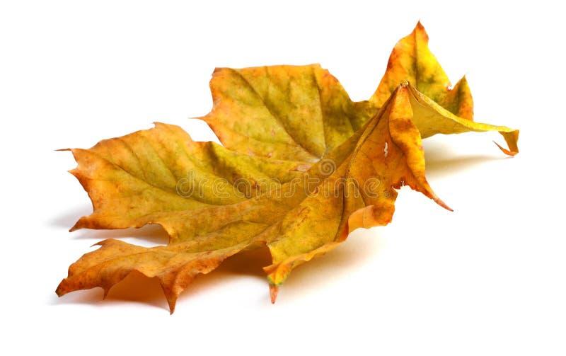 Jesień klonu gałąź z liśćmi z cieniem odizolowywającym obraz stock