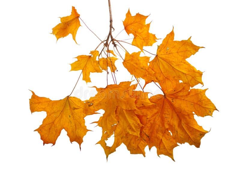 Jesień klonu gałąź z liśćmi odizolowywającymi zdjęcie royalty free