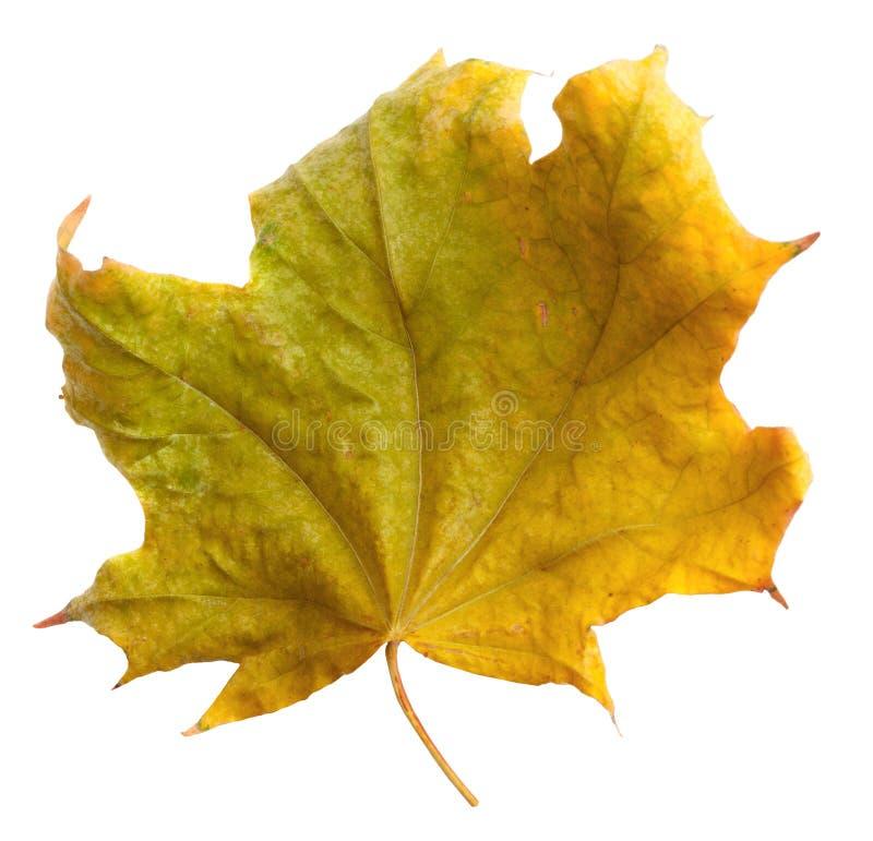 Jesień klonu gałąź z liśćmi odizolowywającymi na tle zdjęcia stock