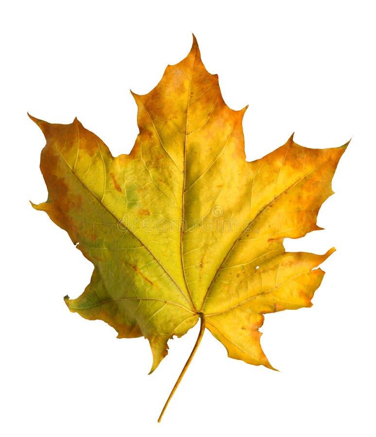 Jesień klonu gałąź z liśćmi odizolowywającymi na tle obrazy stock