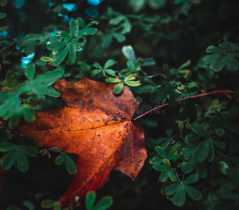 jesień kolorowy liść klon fotografia stock
