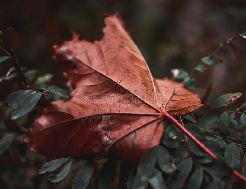 jesień kolorowy liść klon zdjęcia stock
