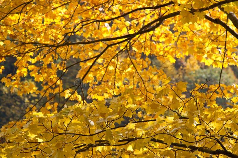 Jesień koloru żółtego kolory w Tokyo fotografia stock